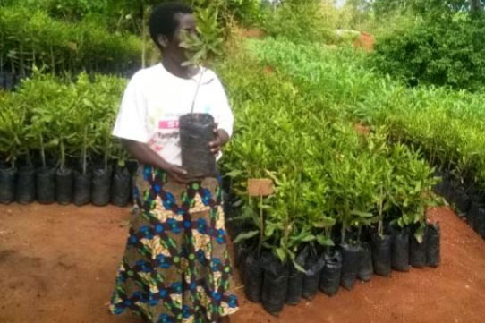 86000 Macadamia Nut Seedlings Have Been Distributed And Planted