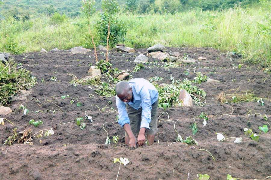 Mr Brown in his Sweet Potato field